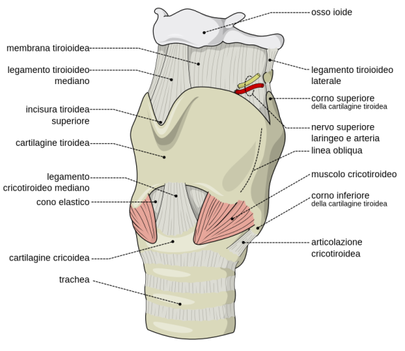 800px-Larynx_external_it.svg